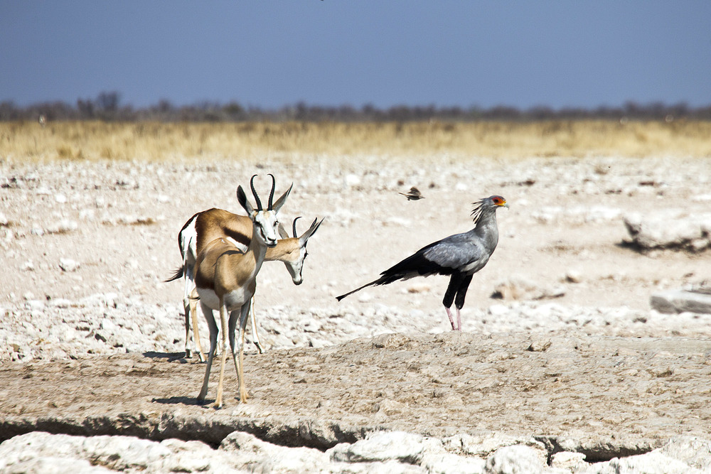 Springbok and Secretary Bird