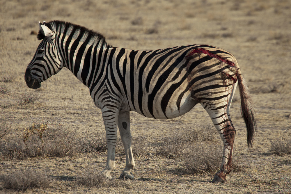 Injured Zebra