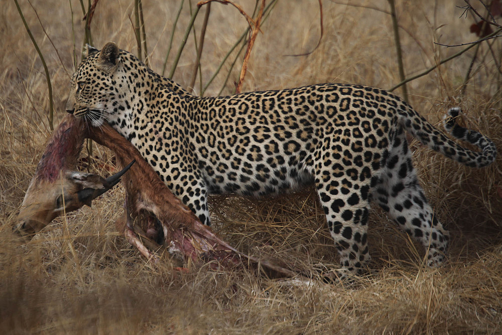 Leopard dragging the kill