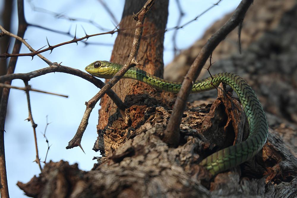 "Boomslang, Afrikanas ""tree snake"""