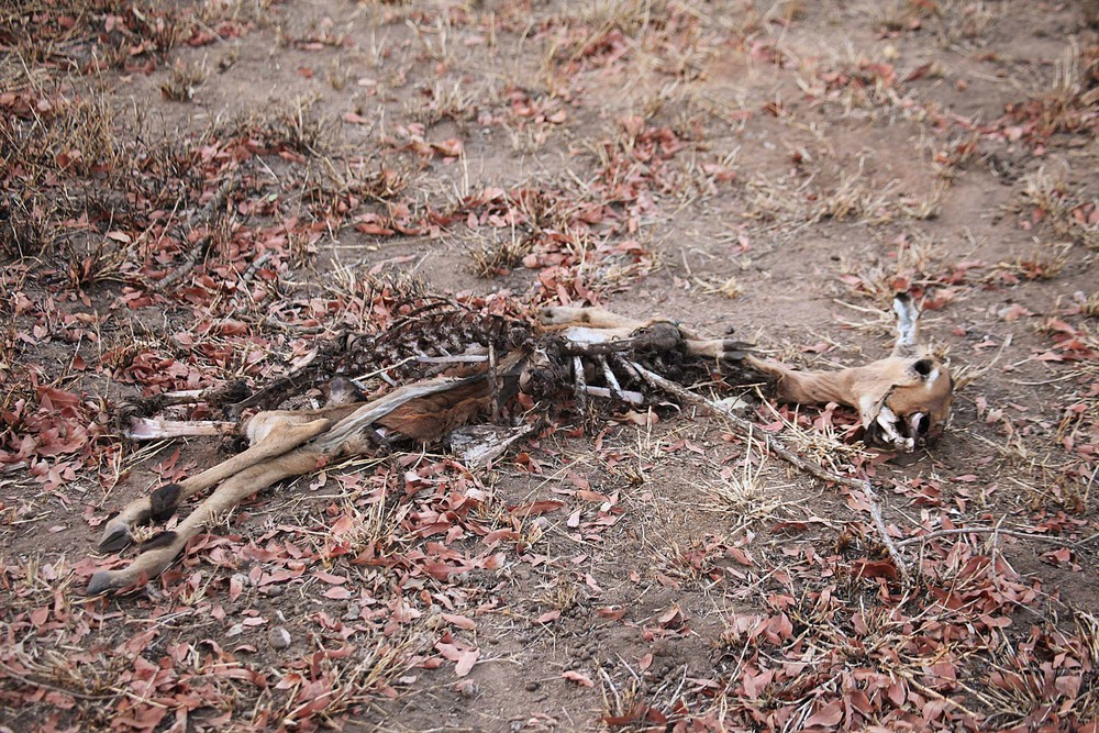 Impala carcass