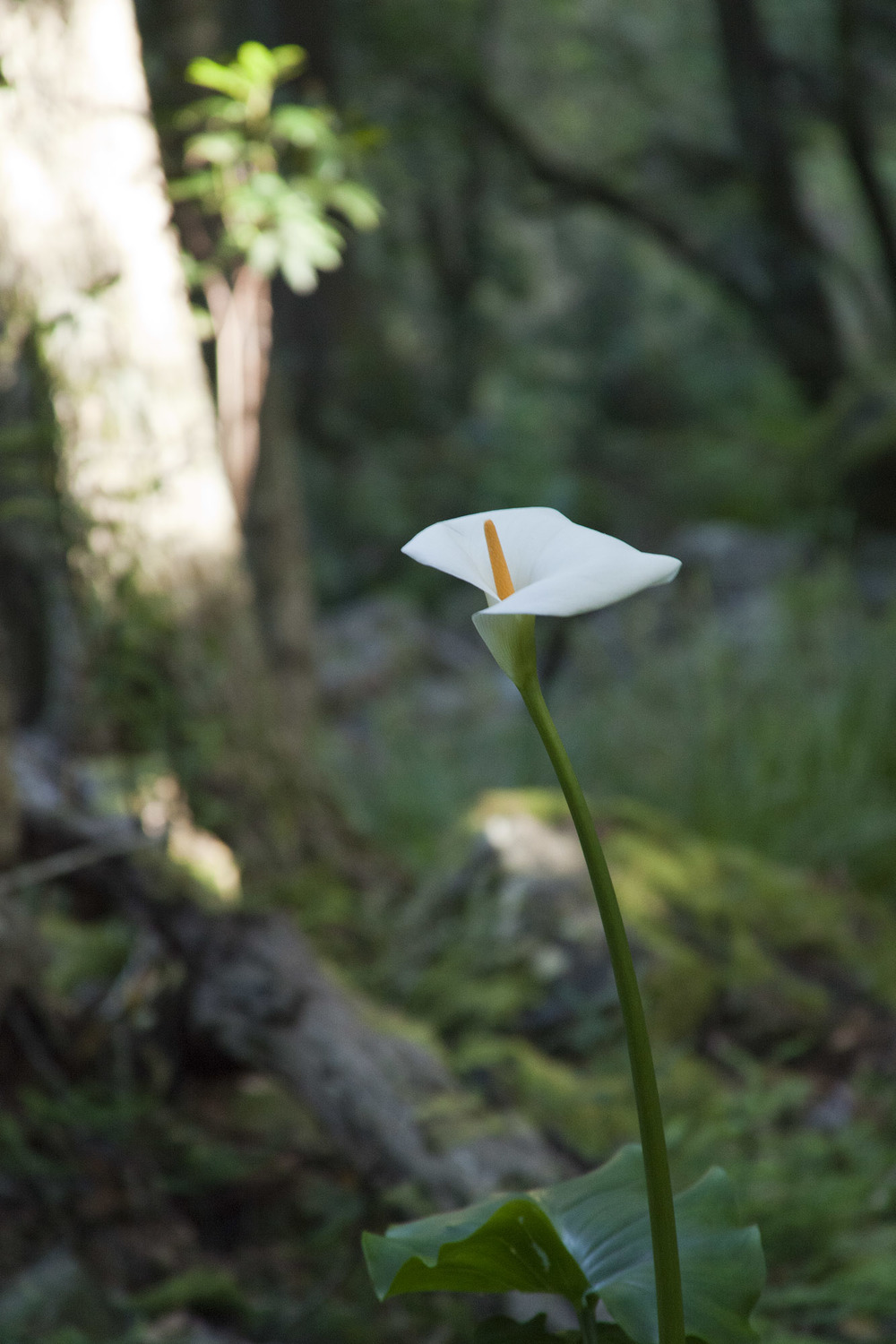 A solitary lily in the gorge