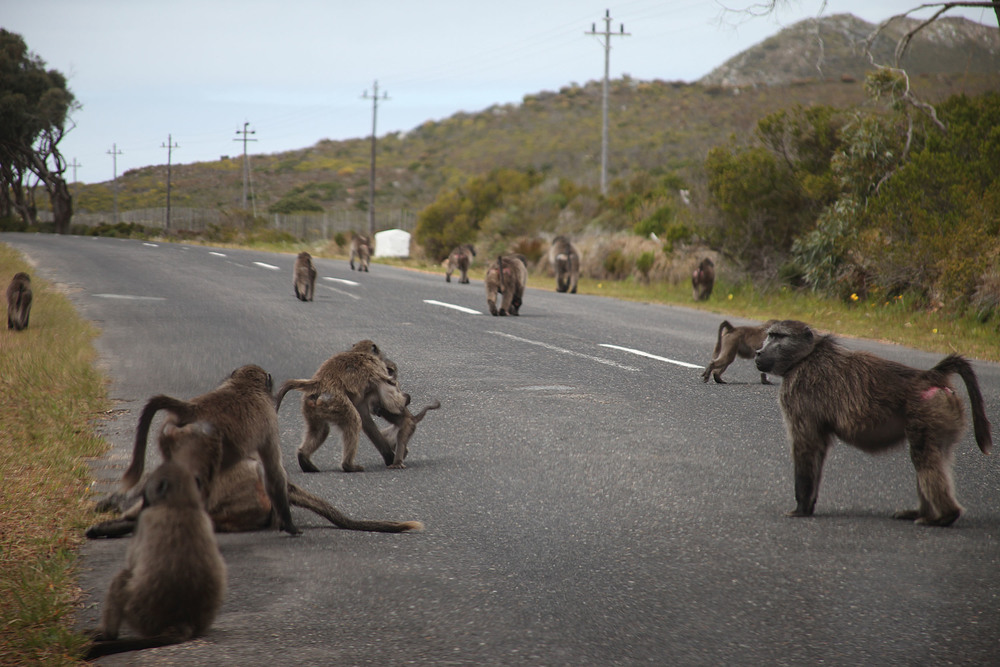 Baboons everywhere