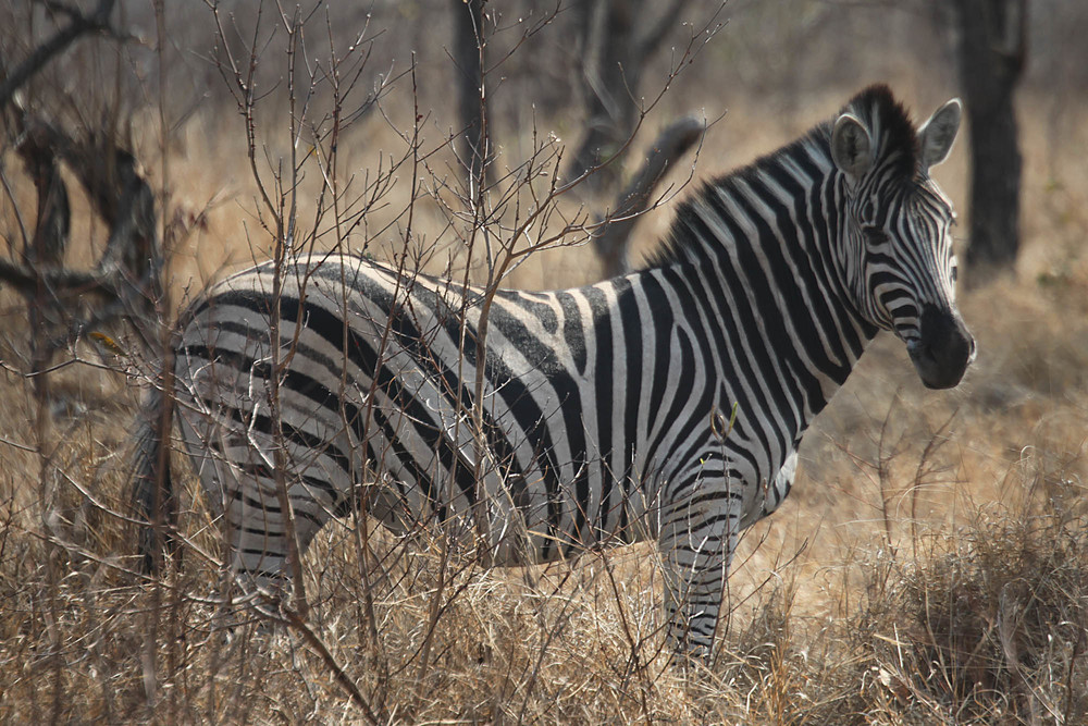 To see your first Zebra in the wild what an experience