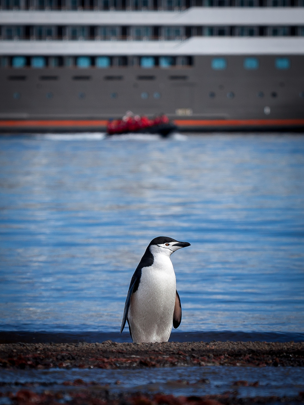 A Chinstrap penguin unperturbed by the arrival of L'Austral