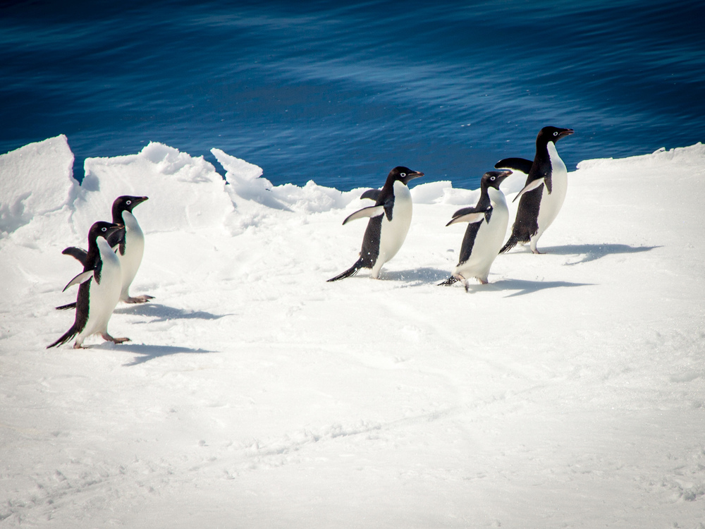 Penguins on an ice flow