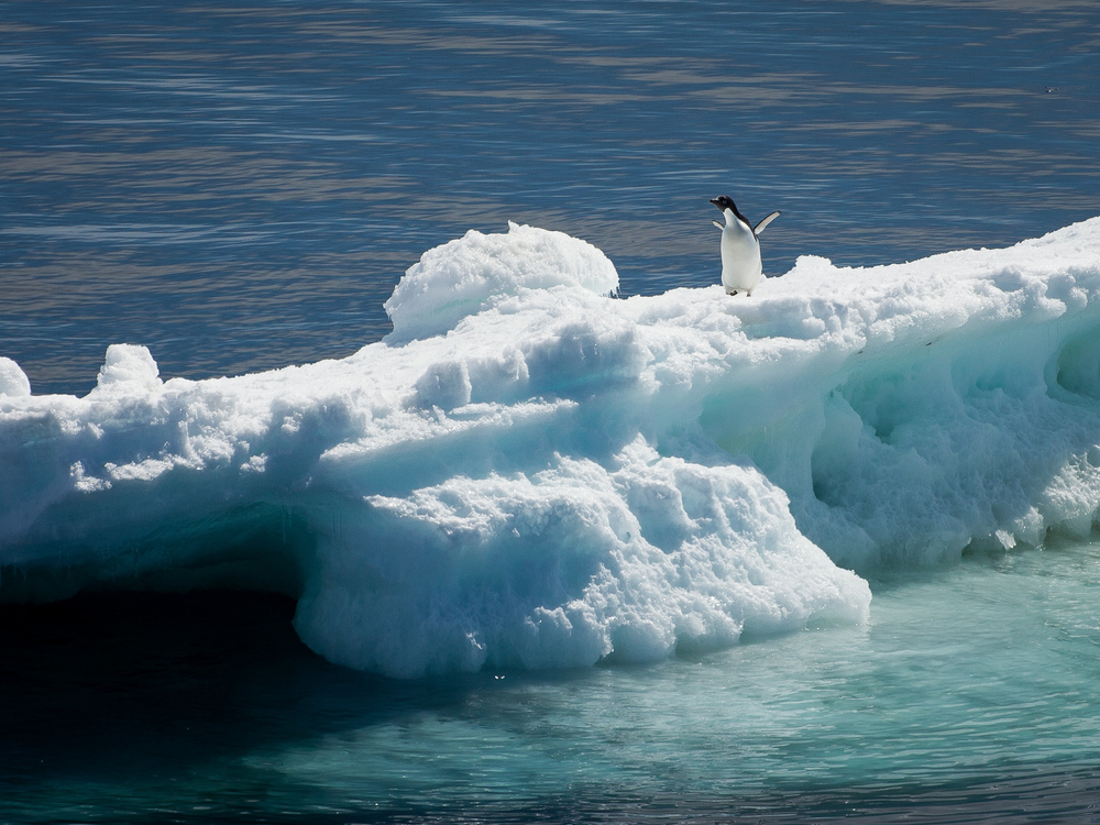Solitary Penguin