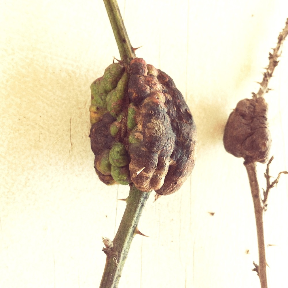 Blackberry Knot Galls