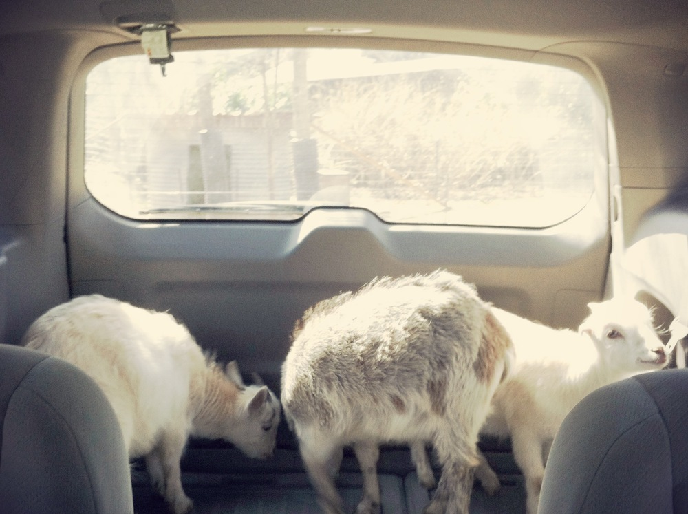 Three Goats in a Mini-Van.JPG