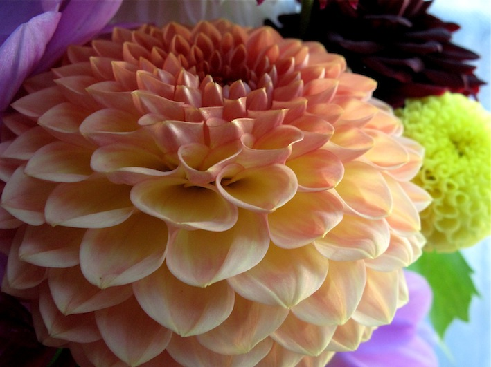 Dahlias Transformed