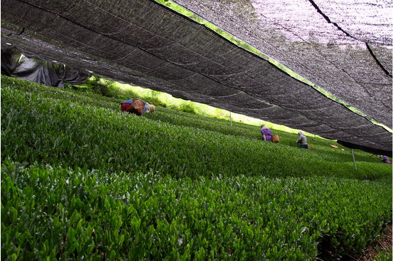 A  gyokuro  tea field.   Photo is from this webpage: http://hojotea.com/jp/posts-504/