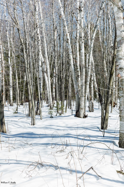 Birch onChikanishing trail, Leica M9, Leica Summicron-M 50mm, ISO 160, f/16, 0.7 sec