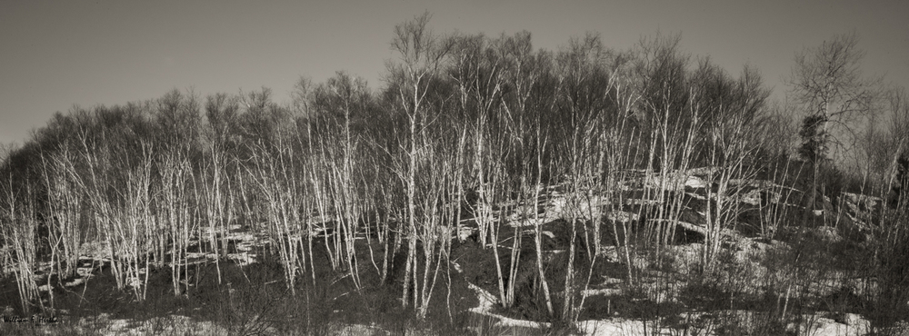 Stand of Birch, Leica M9, Leica Elmarit-M 28mm, ISO 160, f/22, 1.0 sec