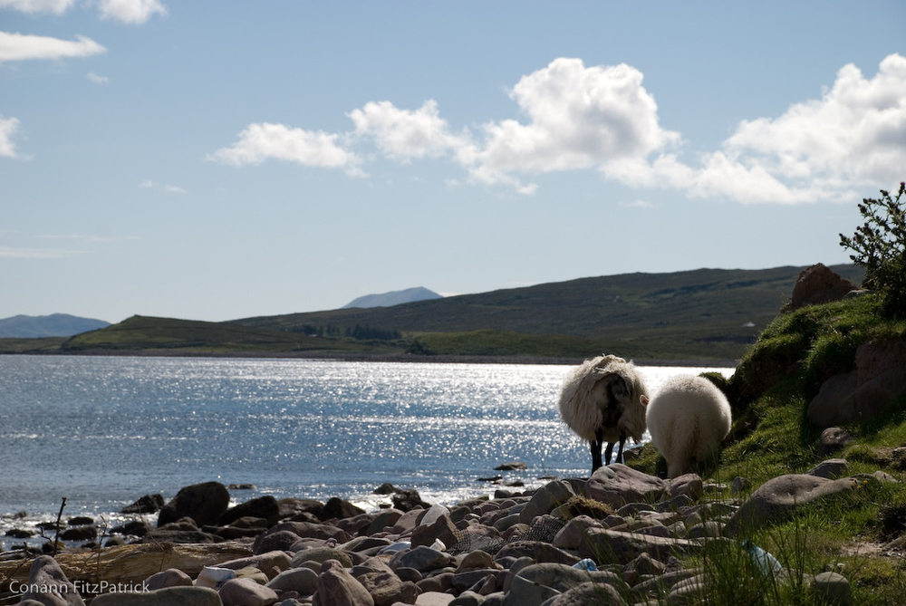 Mulranny Sheep