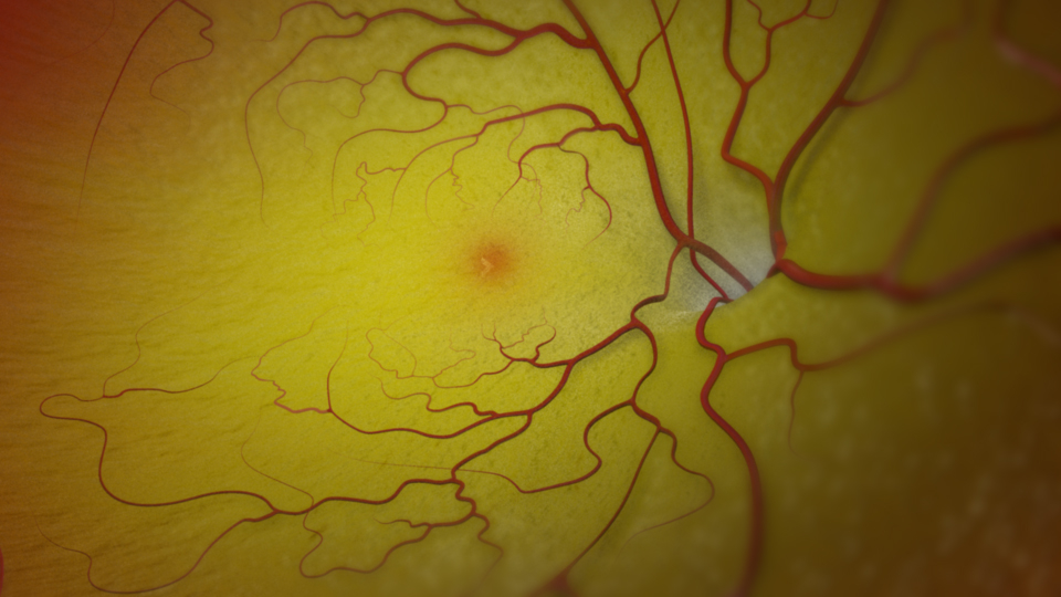 The Retina, fovea and Macula