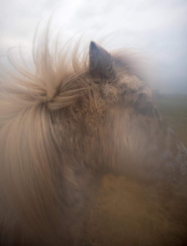 Shetland pony breath.