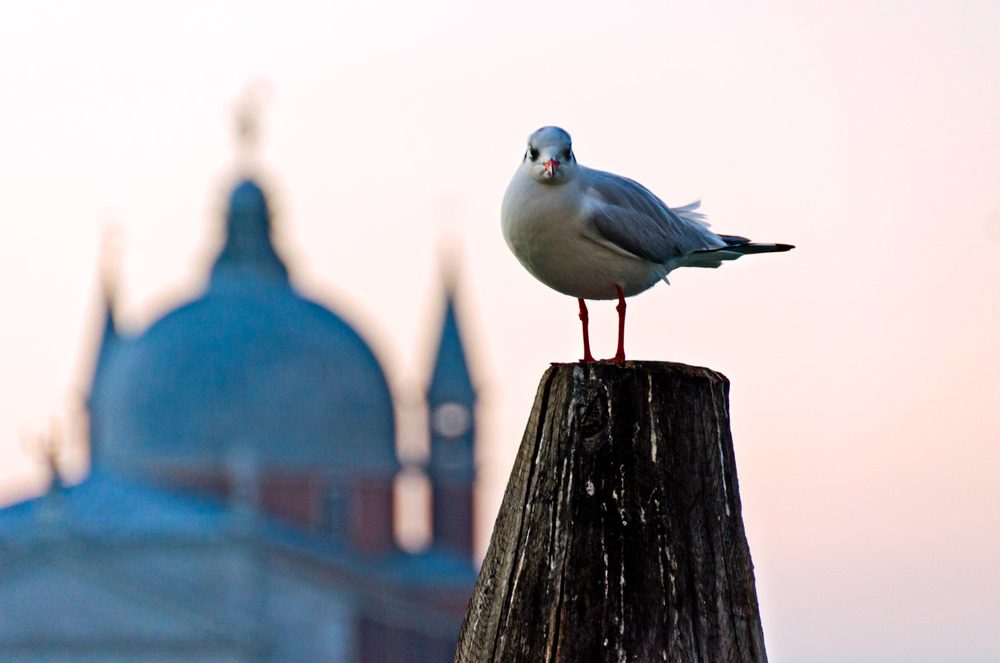 Venetian Seagull with Church