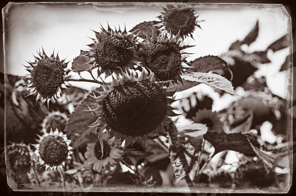 Lost Sunflowers | Mark Lindsay