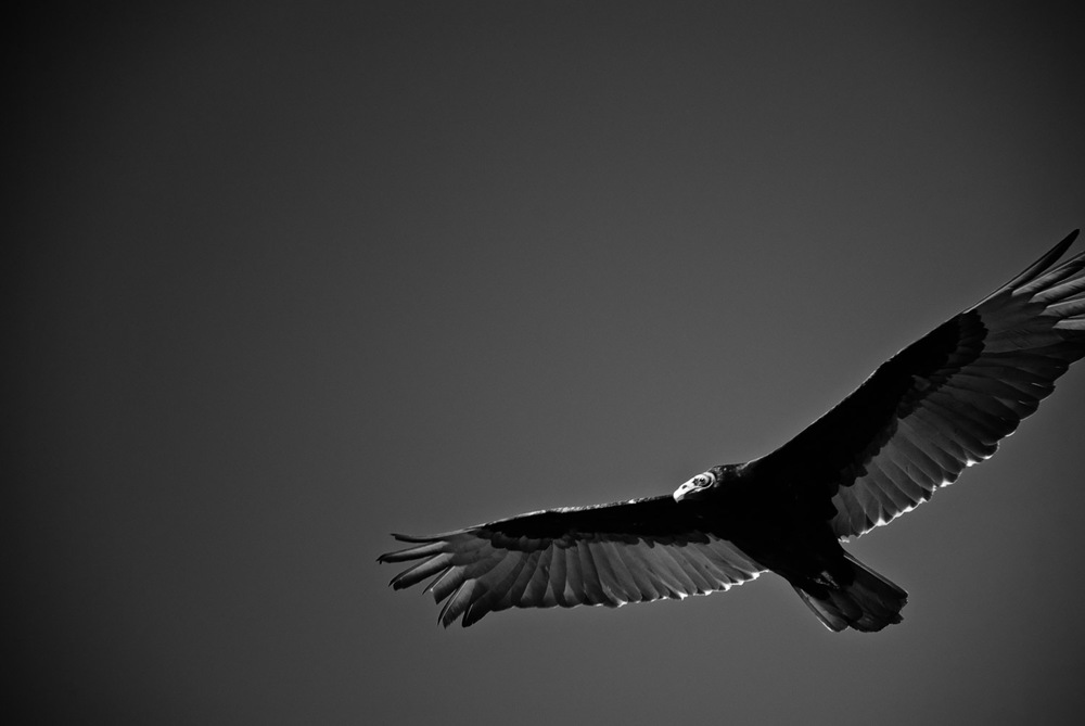 Turkey Vulture in Dark Sky | Mark Lindsay