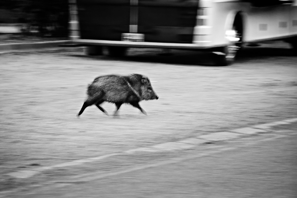 Morning Javelina | Mark Lindsay