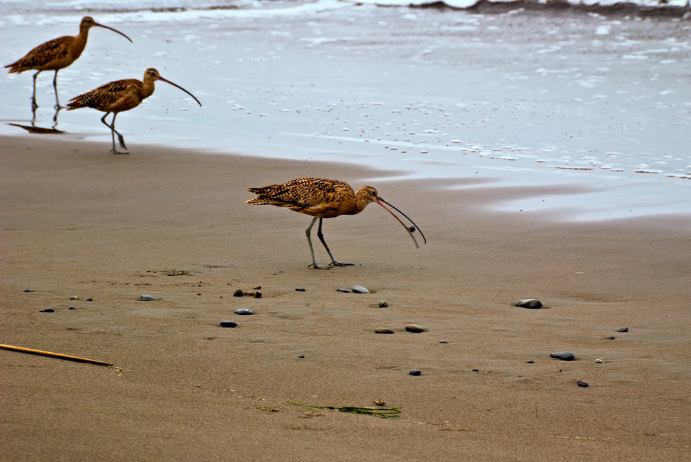 Muir Beach Curlews | Mark Lindsay