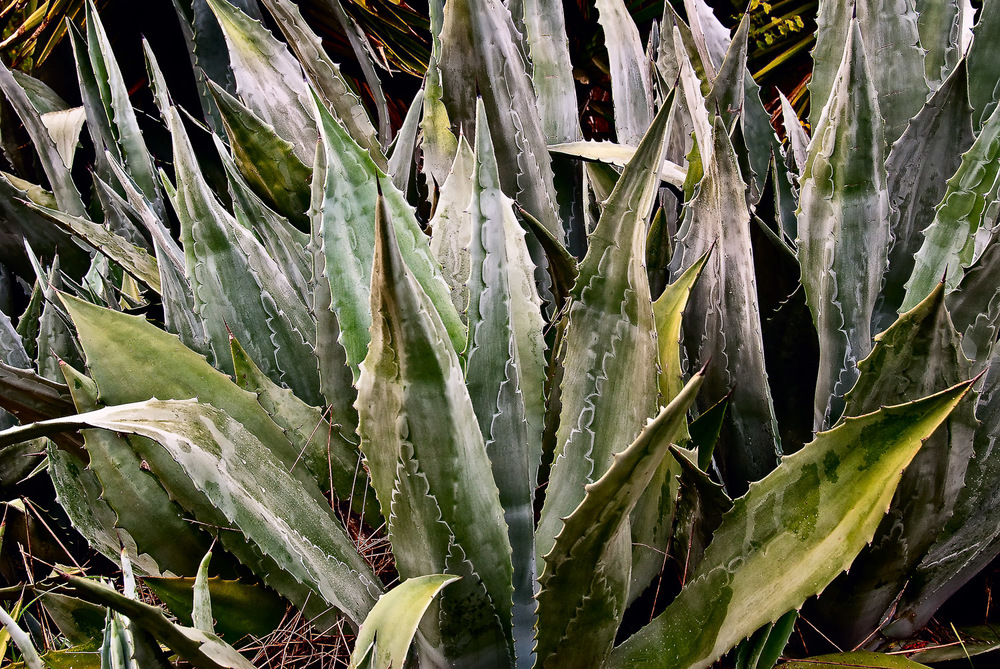 Agave on Rail Path | Mark Lindsay