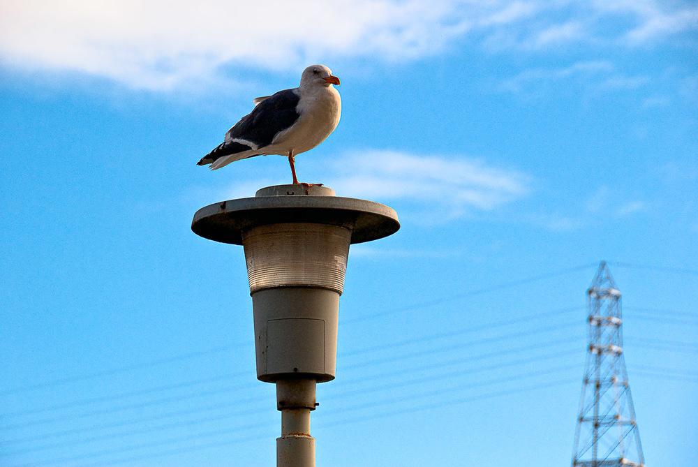 Seagull Posing, Larkspur Landing | Mark Lindsay