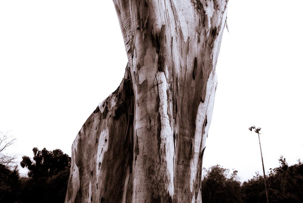 Eucalyptus in Rain | Mark Lindsay