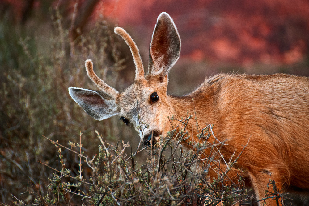 Deer at Indian Gardens, Grand Canyon | Mark Lindsay