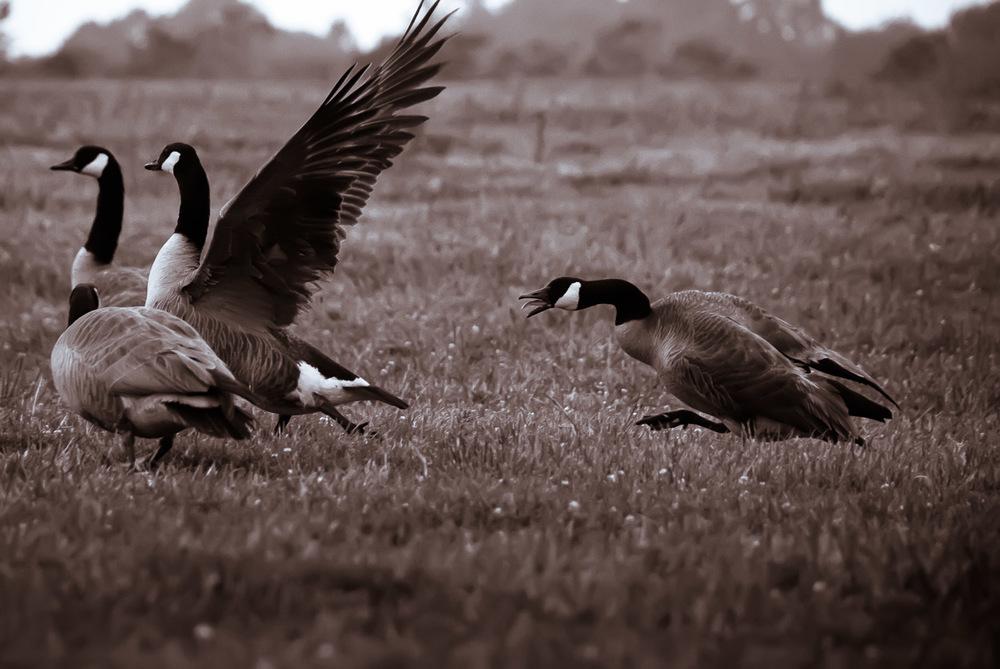 Geese | Mark Lindsay