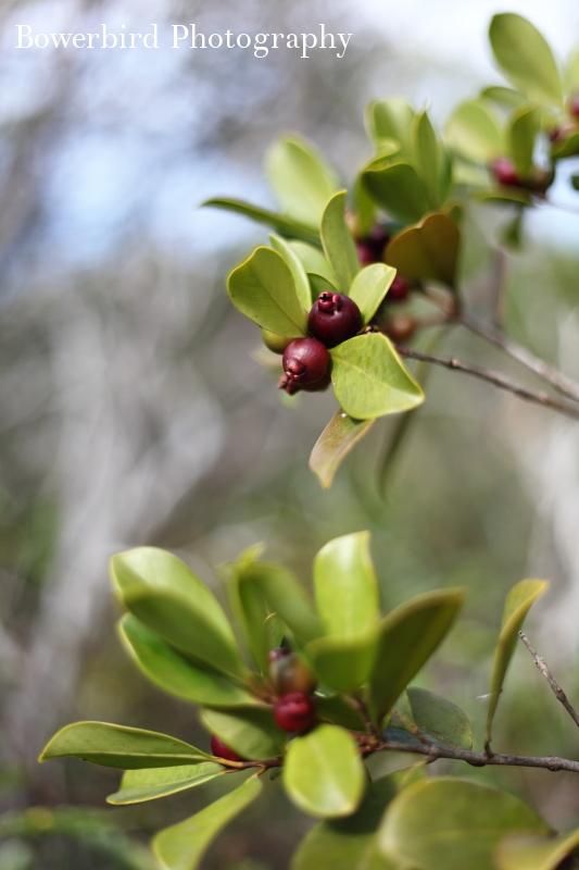 Wild mini-guavas.
