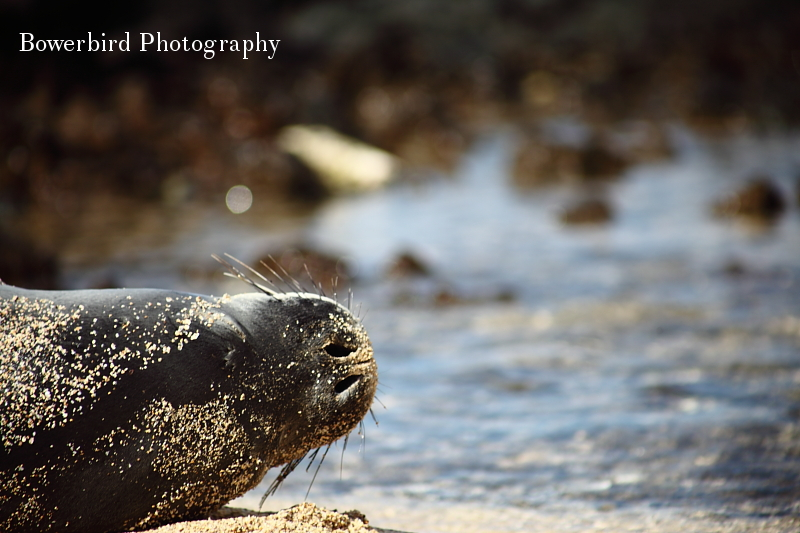 Monk seal sighting! © Bowerbird Photography 2012; Travel Photography Kauai, Hawaii.