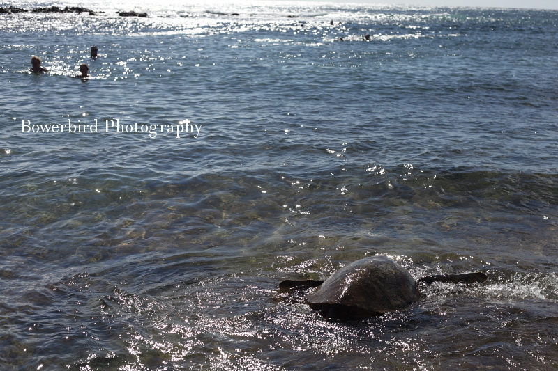 Turtle spotting at Poipu Beach. © Bowerbird Photography 2012; Travel Photography Kauai, Hawaii.