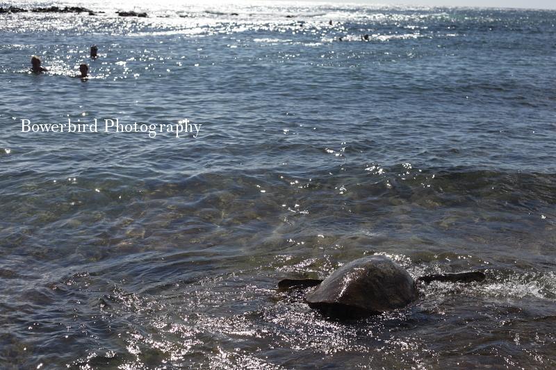Turtle spotting at Poipu Beach.© Bowerbird Photography 2012; Travel Photography Kauai, Hawaii.