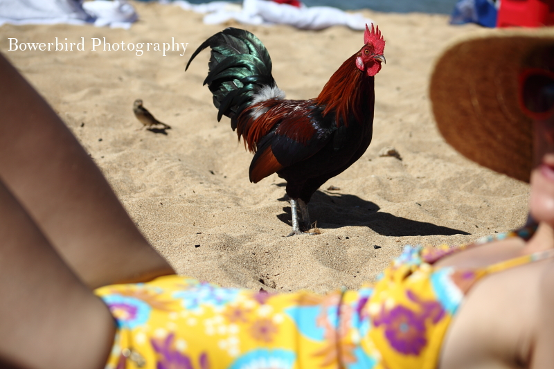 Rooster on the beach with Ariel. © Bowerbird Photography 2012; Travel Photography Kauai, Hawaii.