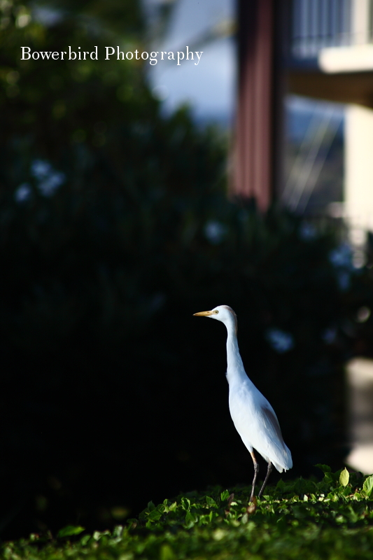 Egret © Bowerbird Photography 2012; Travel Photography Kauai, Hawaii.