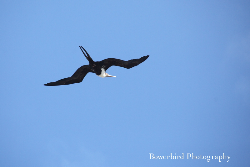 Great frigatebird in flight. ©  Bowerbird Photography 2012; Travel Photography Kauai, Hawaii.