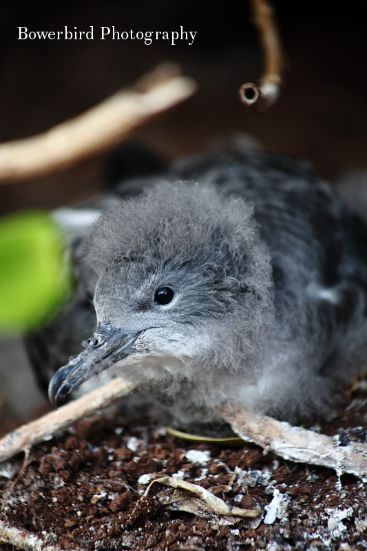 Wedge-tailed shearwater chick. ©  Bowerbird Photography 2012; Travel Photography Kauai, Hawaii.