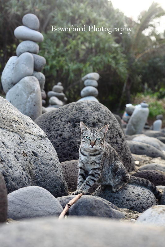 The beach with cats and rock sculptures. © Bowerbird Photography 2012; Travel Photography Kauai, Hawaii.