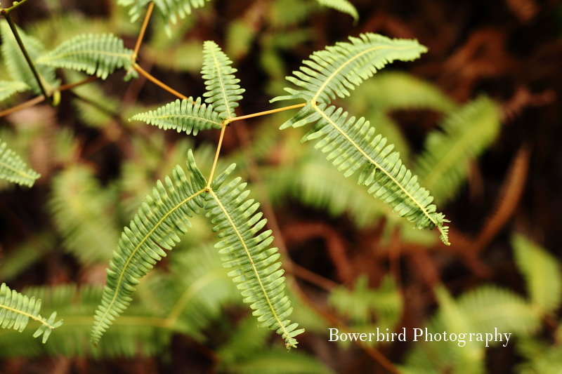 Ferns along the trail. © Bowerbird Photography 2012; Travel Photography Kauai, Hawaii.