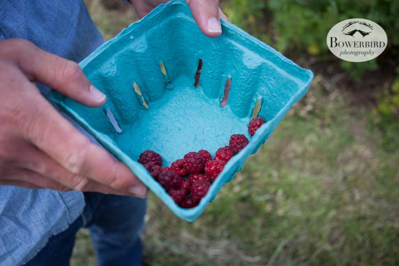 Fresh raspberries! © Bowerbird Photography 2013.