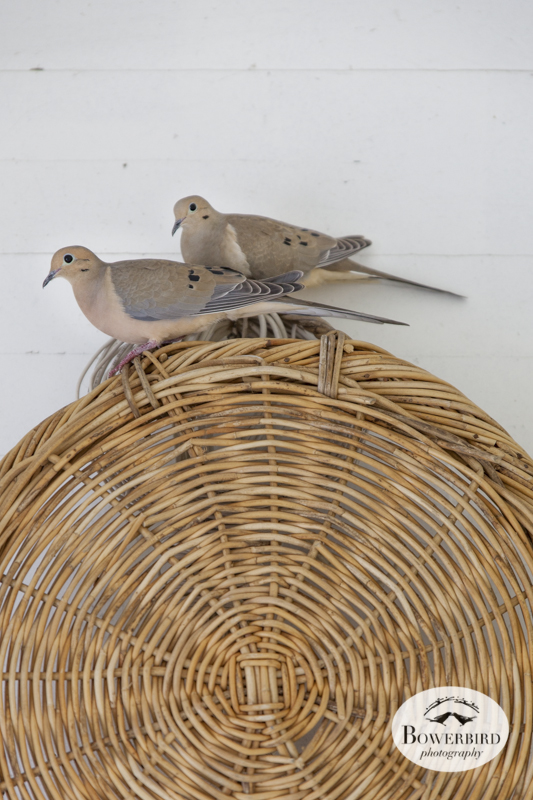 Nesting mourning doves. © Bowerbird Photography, 2014