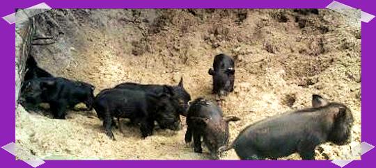 June 2012: 7 Little Piglets are born!