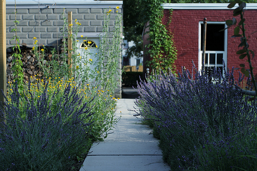 Can you imagine being greeted by a lavender walkway?