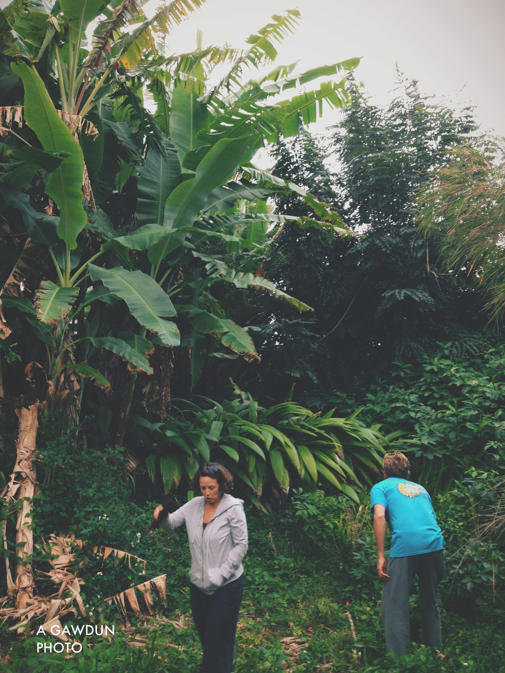 Checking to see if the banana trees had any fruit to yield us… not this time.