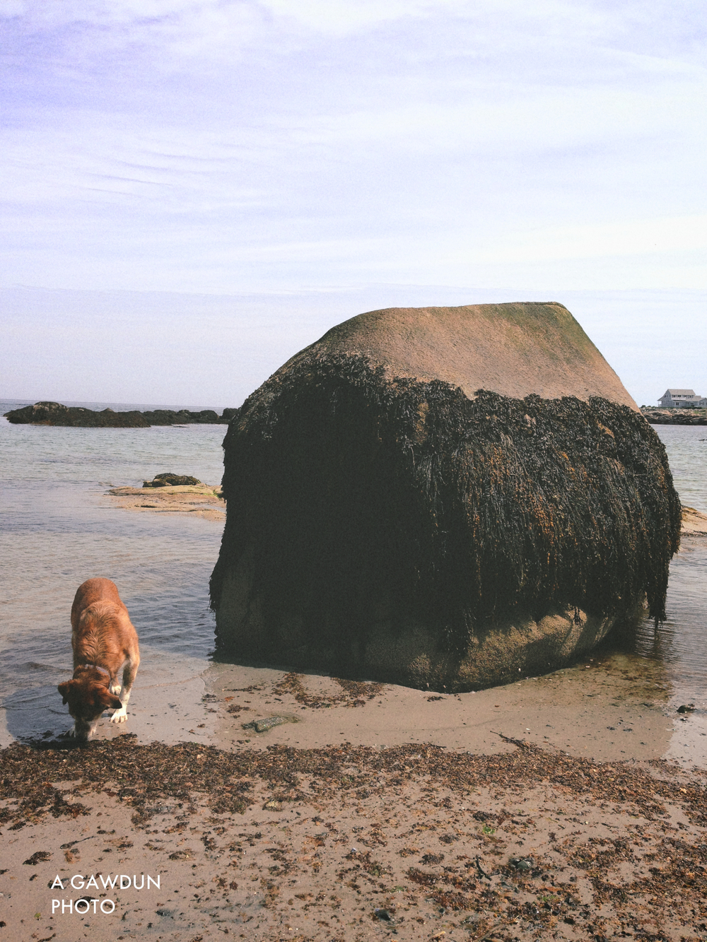 I was told that I would notice the tide changes significantly on the East Coast.  This rock is proof!  At low tide it looks like this but at high tide it goes underwater completely.  The dog gives perfect height difference of the tides...