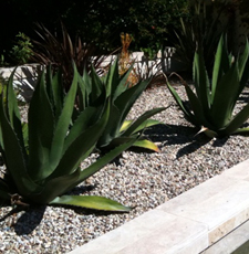 succulents-native-landscaping.jpg