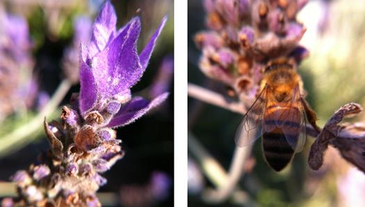 lavender-bee-525x300.jpg