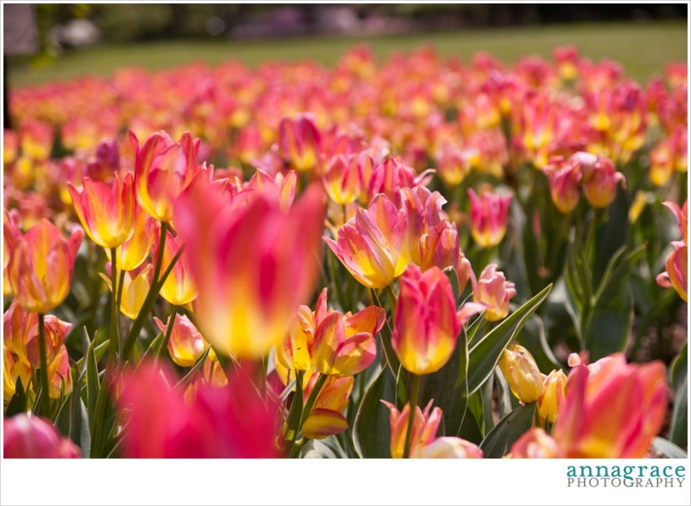 MY FAVORITE TULIPS! They look like sherbet :)