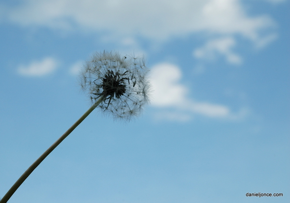 dandelion.jpeg